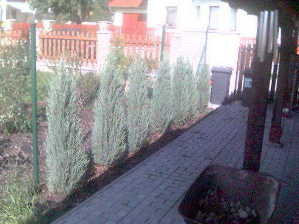 Juniperus Scopulorum Skyrocket 2007/12