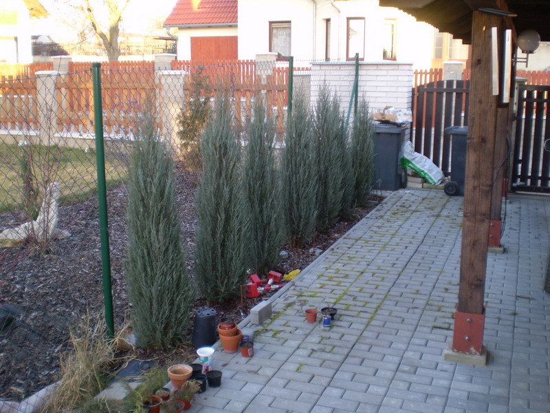 Juniperus Scopulorum Skyrocket 2008/02