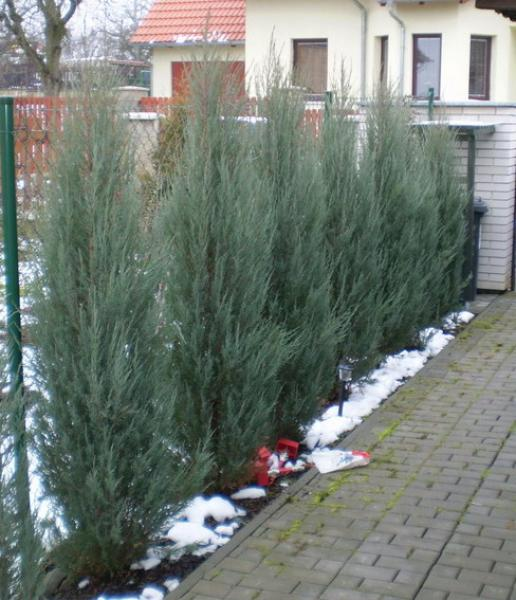 Juniperus Scopulorum Skyrocket 2008/12